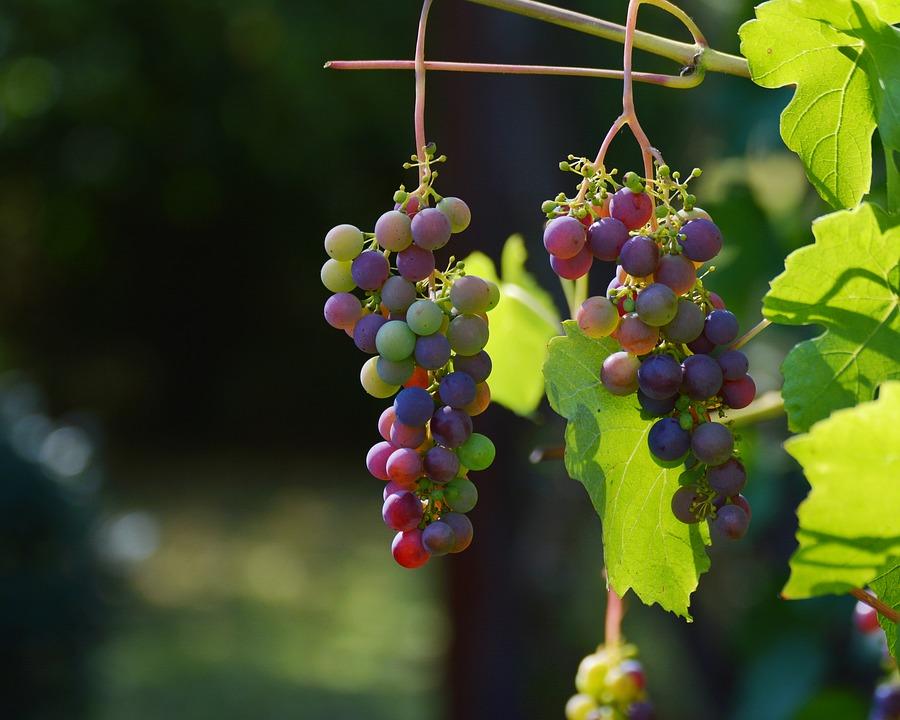 grapes-1659118_960_720