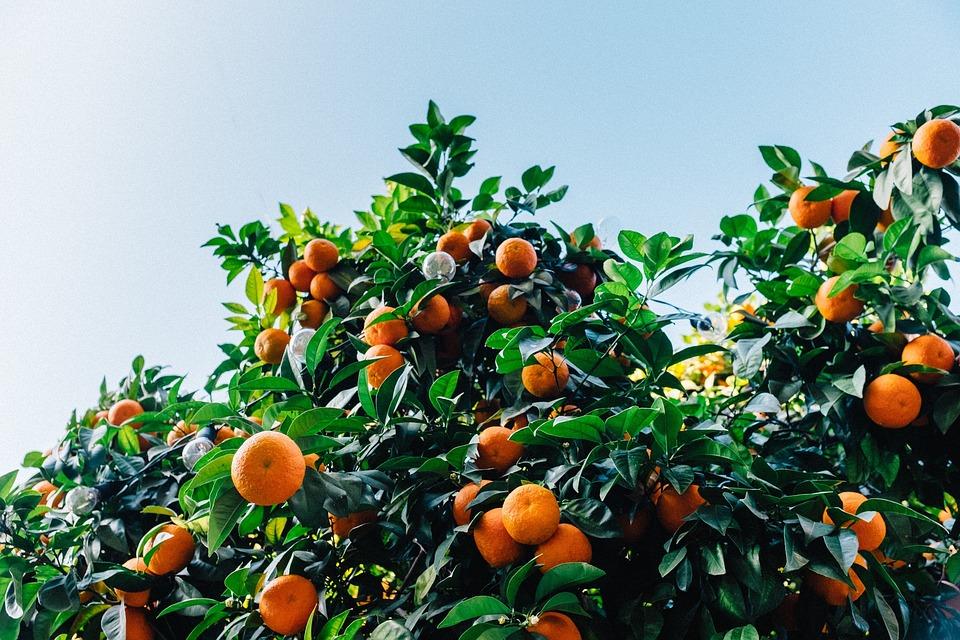 tangerines-1208301_960_720