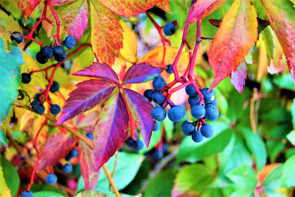 uva otoño